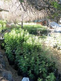 Nevada County MJ Grow Photo