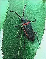 VEL Beetle